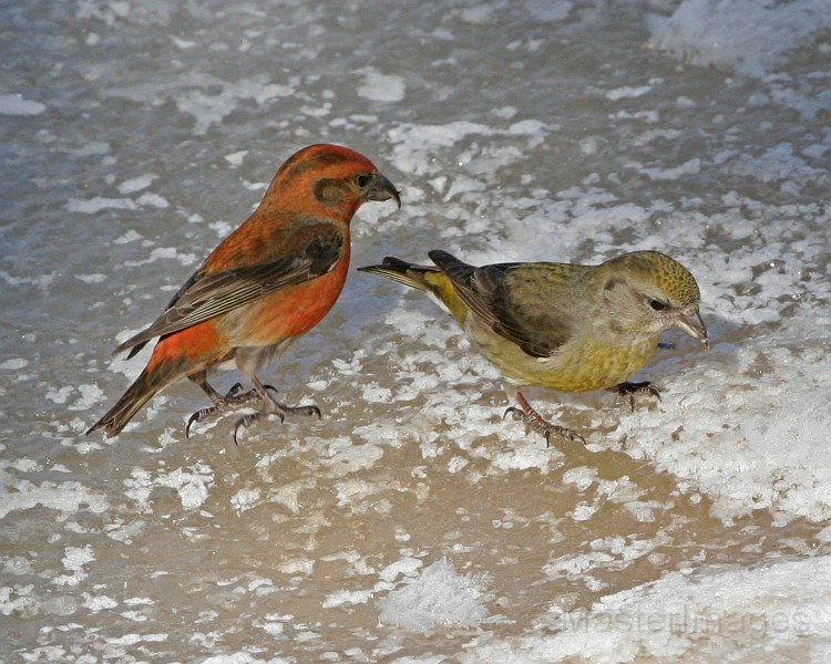 Red Crossbill pair by Larry Master
