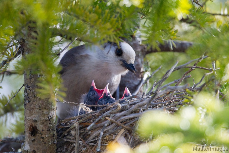 Gray Jay nest in Raquette Lake by Larry Master