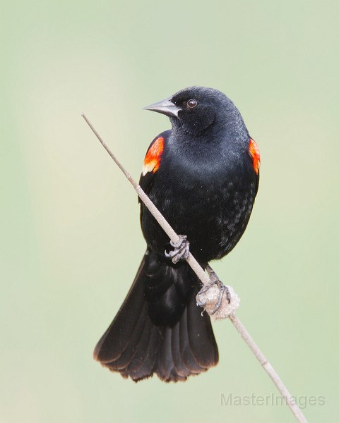 Red-winged Blackbird by Larry Master