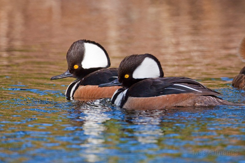 Male Hooded Mergansers by Larry Master