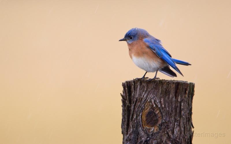 Eastern Bluebird by Larry Master