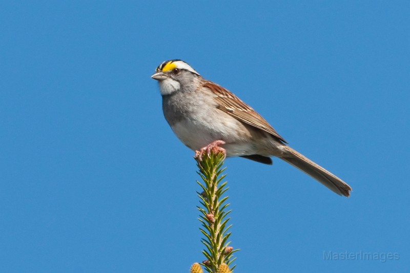 White-throated Sparrow by Larry Master