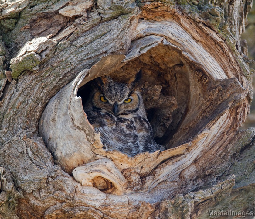Great Horned Owl by Larry Master