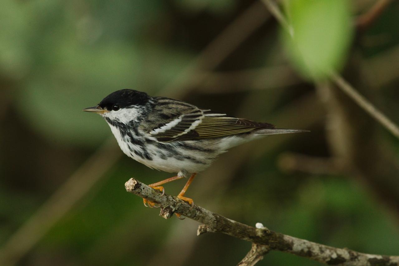 Blackpoll Warbler by Gil Eckrich