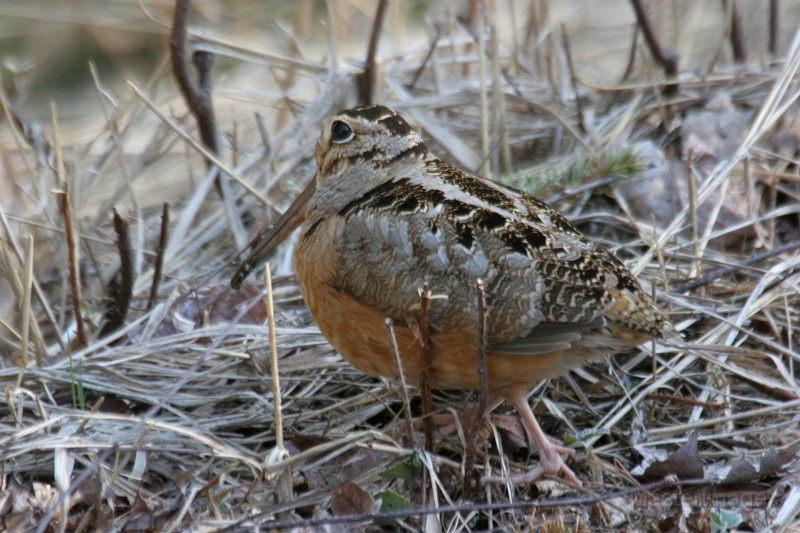 American Woodcock by Larry Master