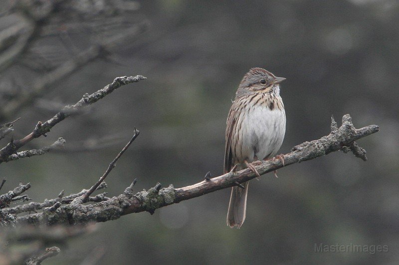 Lincoln's Sparrow by Larry Master