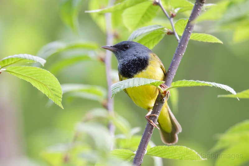 Mourning Warbler by Larry Master