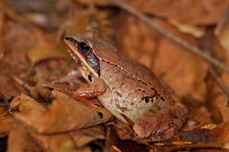 Wood Frog by Larry Master