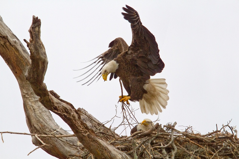 Bald Eagle at its nest by Larry Master