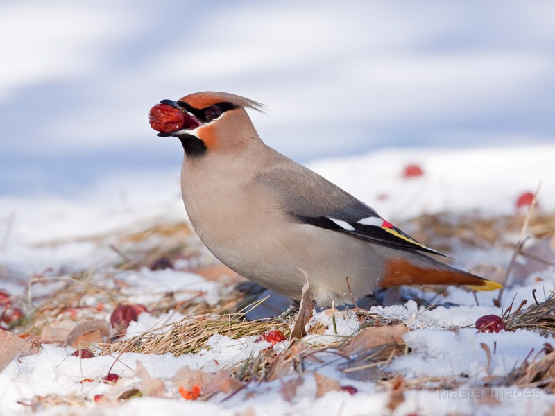 Bohemian Waxwing by Larry Master