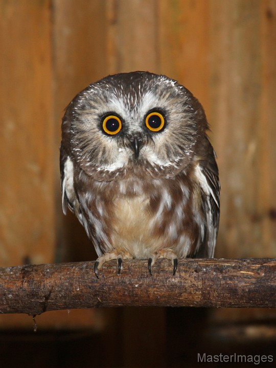 Northern Saw-whet Owl by Larry Master